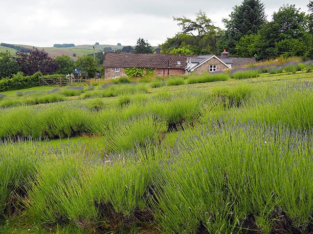 Welsh Lavender.