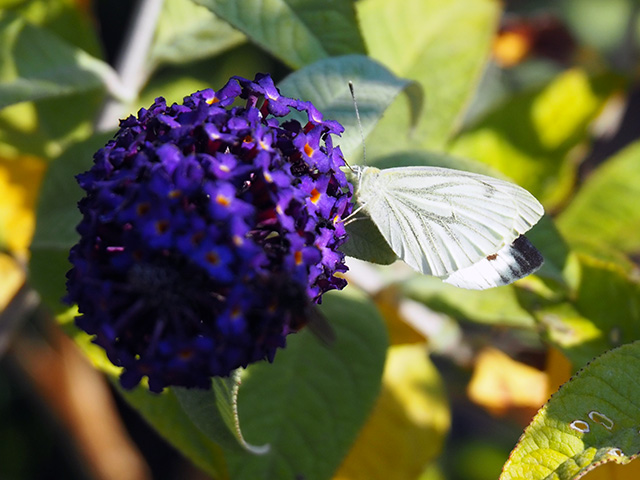 Small White butterfly on Buddleia.