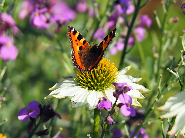 Butterfly on Echinacea.