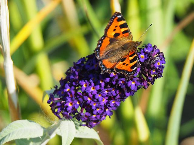 Tortoiseshell butterfly on Buddleia.