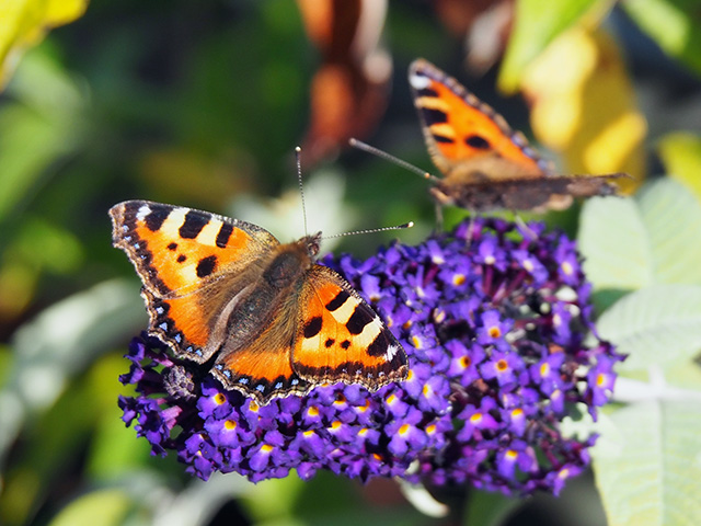 Butterflies on Buddleia.