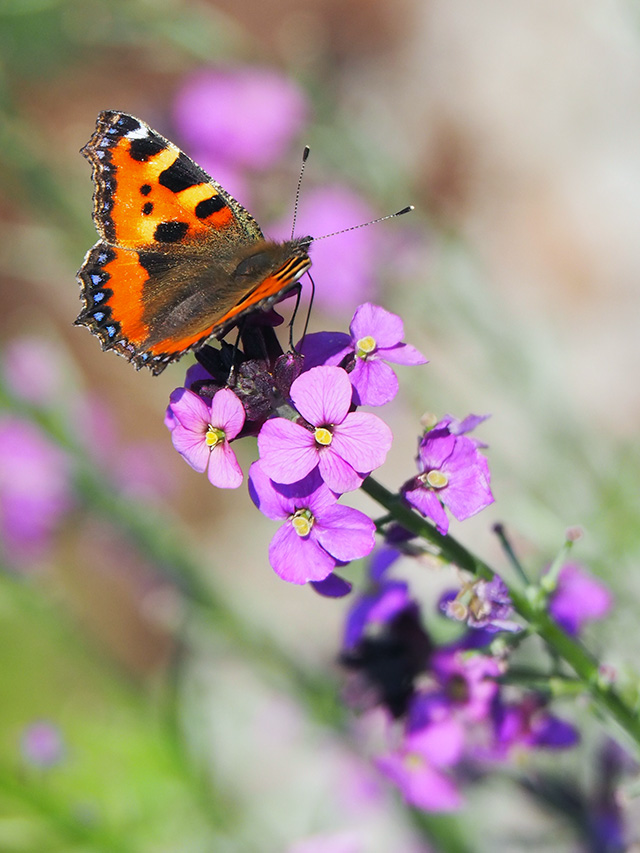Tortoiseshell butterfly on Erysimum.