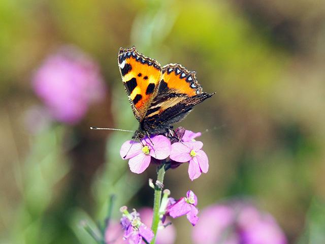 Butterfly on Erysimum.