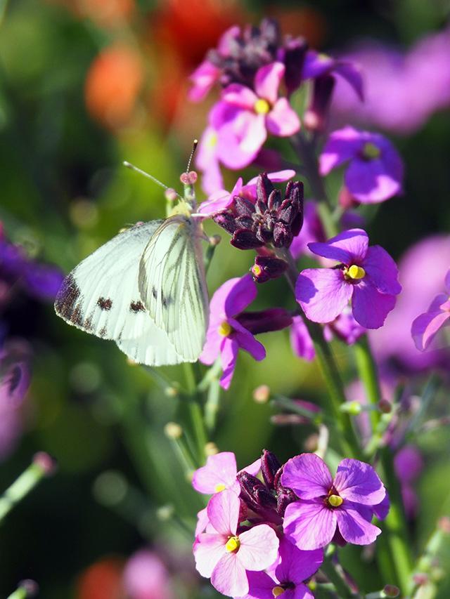 Small White butterfly on Erysimum.