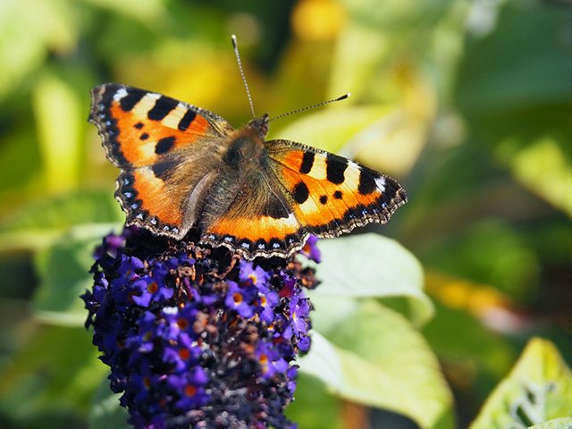 Butterfly on Buddleia.